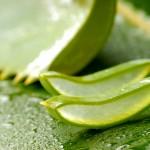 coupe d'Aloe vera